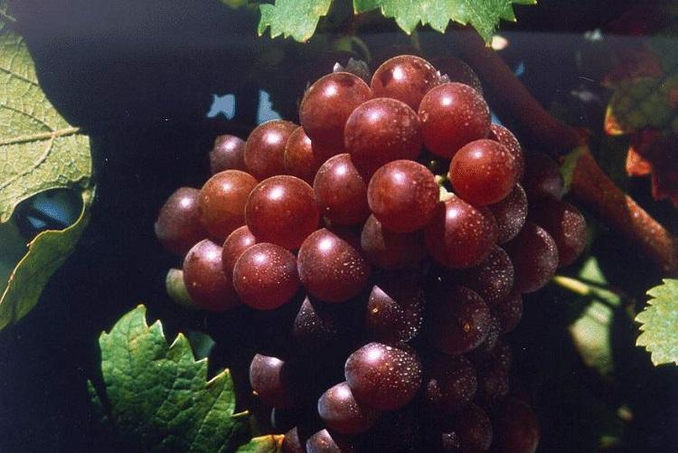 Uva Moscatel Roxa